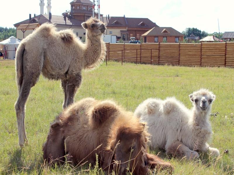 Верблюды Источник laidoya.ru.jpg