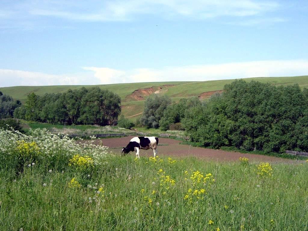 Атнинский район корова.jpg