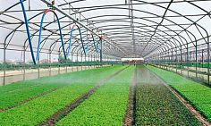 Growing greens on a commercial scale in the open field